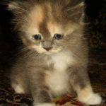 Мася Дымчатая — Сибирская кошечка