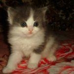 Сибирская Дымчато-белая кошечка