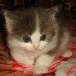 Дымчато - белая кошечка 2