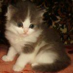 Дымчато - белая кошечка 3