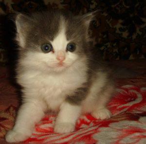Дымчато - белая кошечка