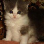 Дымчато - белая кошечка 4