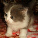 Дымчато - белая кошечка 5