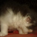Дымчато - белая кошечка 7