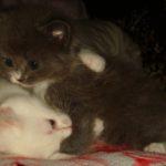 Дымчатый котик 10