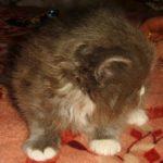 Дымчатый котик 11