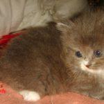 Дымчатый котик 2