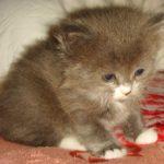 Дымчатый котик 3