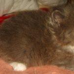 Дымчатый котик 4