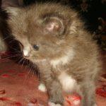 Дымчатый котик 5