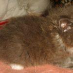 Дымчатый котик 6