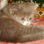 Дымчатый котик 7