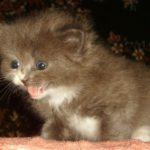 Дымчатый котик 8