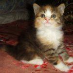 Сибирская трёхцветная кошечка