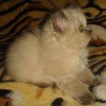 Сибирская дымчатая кошечка 2