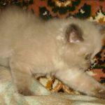 Сибирская дымчатая кошечка 5