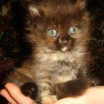 Сибирская кошечка, Маша