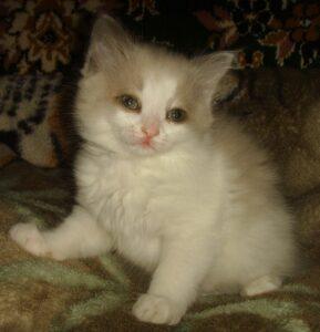 Котик белый Невский