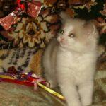 Котик белый 11