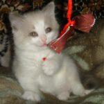 Котик белый 12