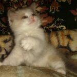 Котик белый 9