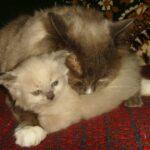 Невский котёнок, пепельный 10