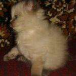 Невский котёнок, пепельный 11