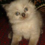 Невский котёнок, пепельный 12