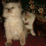 Невский котёнок, пепельный 2