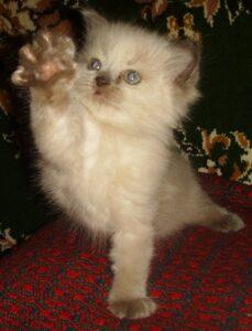 Невский котёнок, пепельный