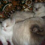 Невский котёнок, пепельный 3