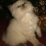Невский котёнок, пепельный 4