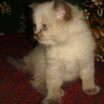 Невский котёнок, пепельный 5