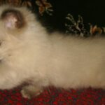 Невский котёнок, пепельный 6