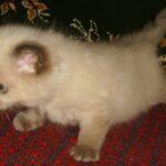 Невский котёнок, пепельный 7