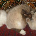 Невский котёнок, пепельный 8