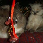 Невский котёнок, пепельный 9