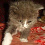 Дымчато-белый котик 10