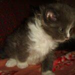 Дымчато-белый котик 11