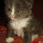 Дымчато-белый котик 2
