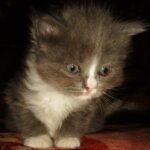 Дымчато-белый котик 4