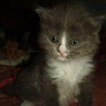 Дымчато-белый котик 5