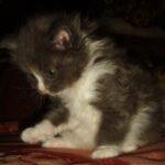 Дымчато-белый котик 6