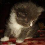 Дымчато-белый котик 7