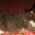 Дымчато-белый котик 8