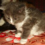 Дымчато-белый котик 9