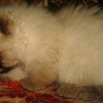 Невский Маскарадный котик 10