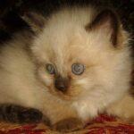 Невский Маскарадный котик 2