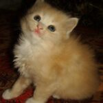 Персиковый котёнок 2