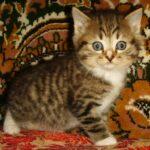 Мини-тигр 2
